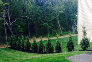 11 Arborvitae Green Giants Chantilly, Virginia