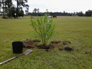 Snowball Tree Sylvester, GA